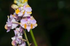 Flor híbrida rosada de la orquídea de Aerides Imagen de archivo libre de regalías