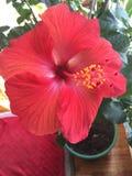 Flor havaiana Fotografia de Stock Royalty Free