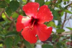 Flor hawaiana Foto de archivo libre de regalías
