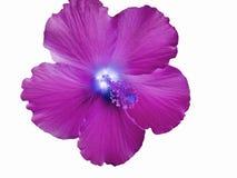 Flor hawaiana magenta del hibisco en un fondo blanco Imagen de archivo libre de regalías