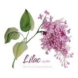 Flor hecha a mano del vector de la acuarela del vintage Ramificación de la lila Ejemplo romántico foto de archivo