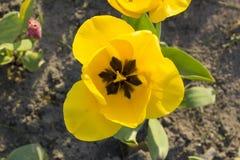 Flor hermosa amarilla del tulipán Fotografía de archivo