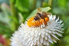 Flor hermosa con abejas en un día de verano imagen de archivo libre de regalías