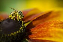 Flor hermosa con la abeja de la miel Imagen de archivo