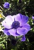 Flor hermosa, coronaria de la anémona Imagenes de archivo