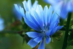 Flor hermosa de la achicoria en un prado verde Foto de archivo libre de regalías