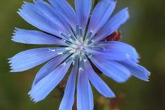Flor hermosa de la achicoria en un prado verde del verano Foto de archivo