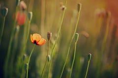 Flor hermosa de la amapola Imagenes de archivo