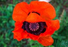 Flor hermosa de la amapola roja floreciente en el jardín imagenes de archivo