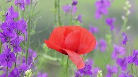 Flor hermosa de la amapola y flores de Angelonia que balancean en el viento almacen de video