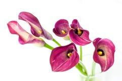 Flor hermosa de la cala Fotografía de archivo libre de regalías