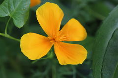 Flor hermosa de la cuatro-hoja anaranjada Imagen de archivo