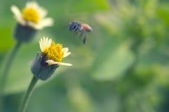 Flor hermosa de la hierba y movimiento de la abeja del vuelo Foto de archivo libre de regalías