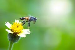 Flor hermosa de la hierba y movimiento de la abeja del vuelo Fotografía de archivo