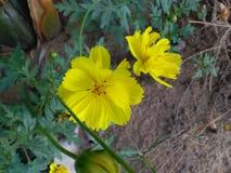 Flor hermosa de la India Foto de archivo