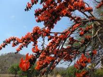 Flor hermosa de la India Foto de archivo libre de regalías