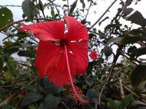 Flor hermosa de la India Fotos de archivo libres de regalías