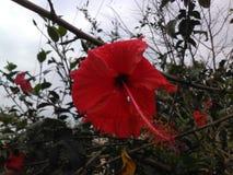 Flor hermosa de la India Imagen de archivo