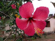 Flor hermosa de la India Fotografía de archivo