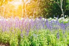 Flor hermosa de la lavanda Fotos de archivo libres de regalías
