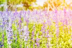 Flor hermosa de la lavanda Foto de archivo