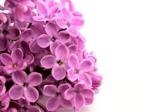 Flor hermosa de la lila fotos de archivo