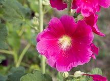 Flor hermosa de la malva rosada Fotos de archivo