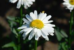 Flor hermosa de la manzanilla Imagen de archivo libre de regalías