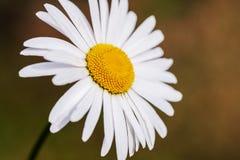 Flor hermosa de la manzanilla aislada en fondo del jardín Imagen de archivo