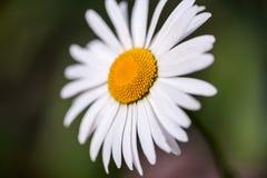 Flor hermosa de la manzanilla aislada en fondo del jardín Fotos de archivo