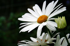 Flor hermosa de la margarita Foto de archivo libre de regalías