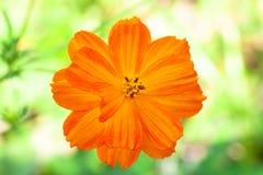 Flor hermosa de la margarita anaranjada Imagen de archivo libre de regalías