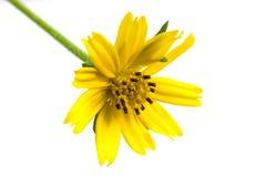 Flor hermosa de la margarita de Singapur Imagenes de archivo