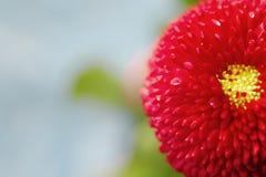 Flor hermosa de la margarita del resorte Imágenes de archivo libres de regalías