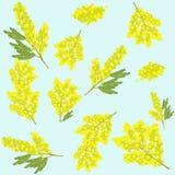 Flor hermosa de la mimosa Imágenes de archivo libres de regalías