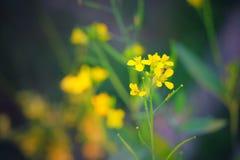 Flor hermosa de la mostaza imágenes de archivo libres de regalías