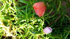 Flor hermosa de la Musgo-rosa almacen de video