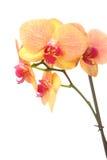 Flor hermosa de la orquídea Fotografía de archivo