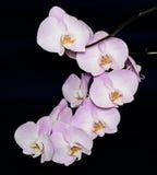 Flor hermosa de la orquídea del Phalaenopsis en fondo negro Foto de archivo