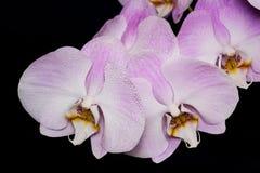 Flor hermosa de la orquídea del Phalaenopsis en fondo negro Fotografía de archivo libre de regalías