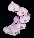 Flor hermosa de la orquídea del Phalaenopsis en fondo negro Imagen de archivo