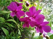 Flor hermosa de la orquídea de la foto natural srilanquesa fotografía de archivo