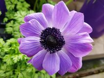 Flor hermosa de la púrpura de la lila Fotos de archivo libres de regalías