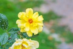 Flor hermosa de la rosa del amarillo en un jardín Imagenes de archivo