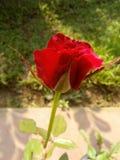 Flor hermosa de la rosa del rojo de Sri Lanka imágenes de archivo libres de regalías