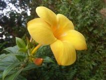 Flor hermosa de las fotos de Sri Lanka Imagen de archivo