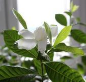 Flor hermosa de los jasminoides de la gardenia Fotos de archivo