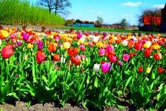 Flor hermosa de los tulipanes en primavera Fotos de archivo libres de regalías