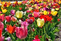 Flor hermosa de los tulipanes en tiempo de primavera Fotografía de archivo libre de regalías