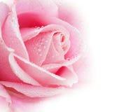 Flor hermosa de Rose Foto de archivo libre de regalías